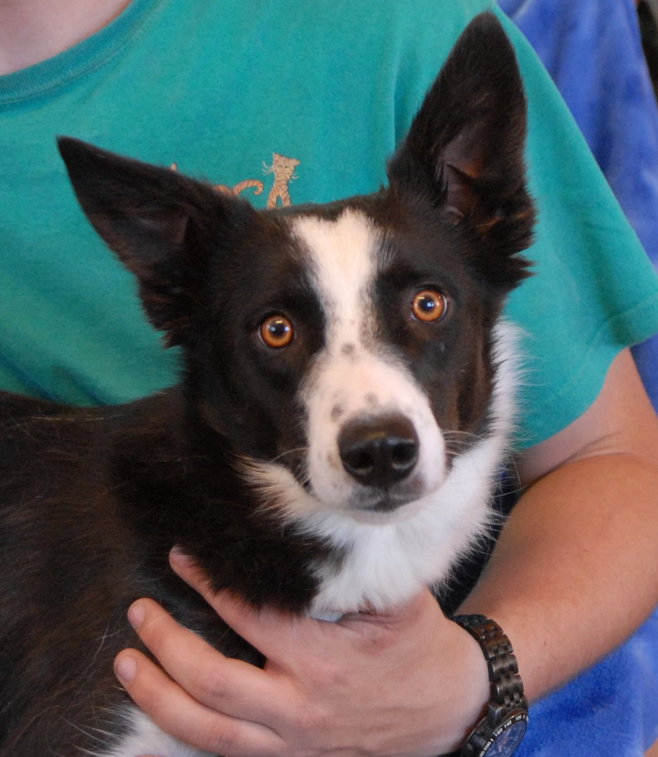 Border Collie dog for Adoption in Valrico, FL. ADN736520