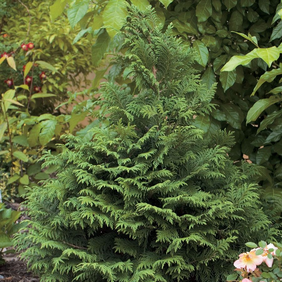 Soft Serve® Chamaecyparis False Cypress Shrub Plants