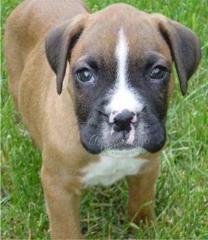 Boxer babies the best!!! Boxer puppies, Boxer dog