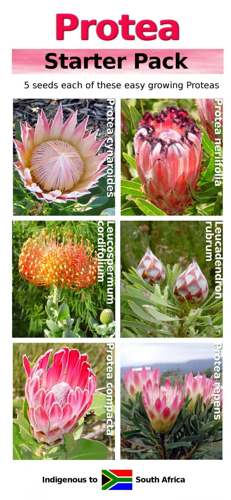 Usda Zone 8 Fynbos And Protea Seeds Fine Bush People Fynbos Protea Planting Bulbs