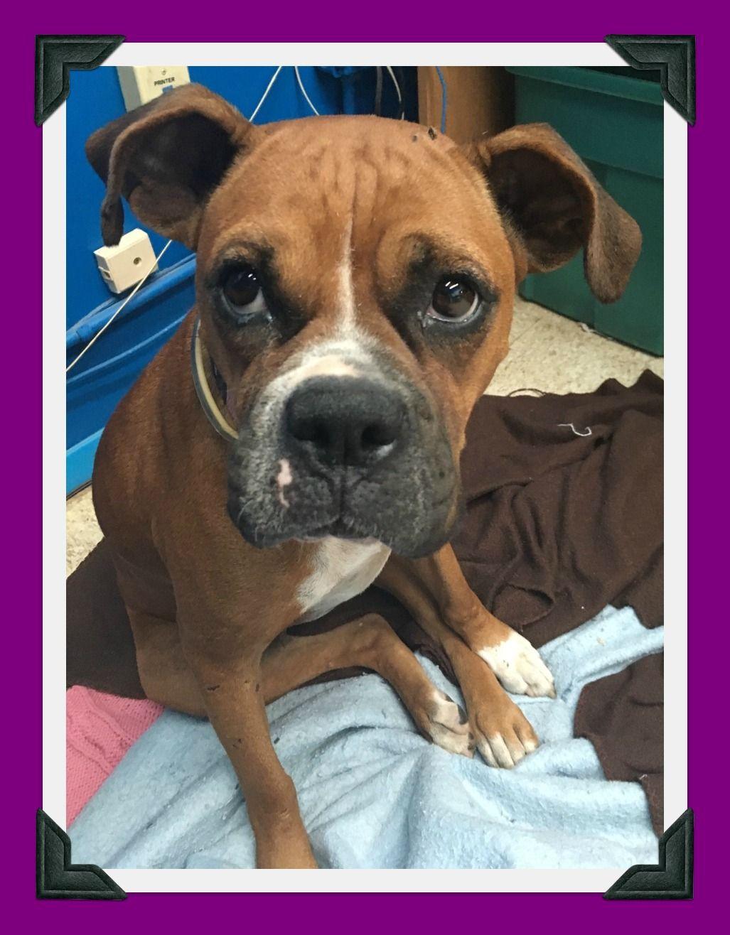 Boxer dog for Adoption in Hurst, TX. ADN637141 on