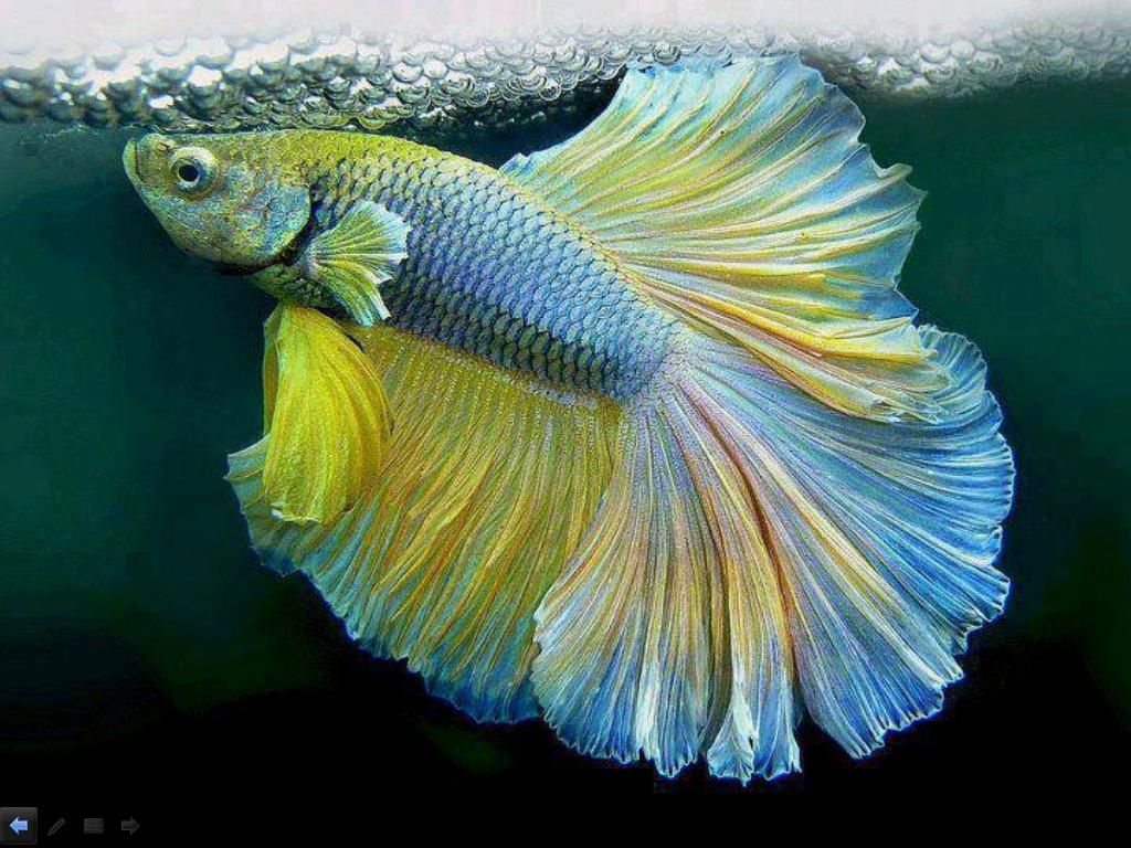 This Betta fish with so luxuriant colors, makes small nests of ...