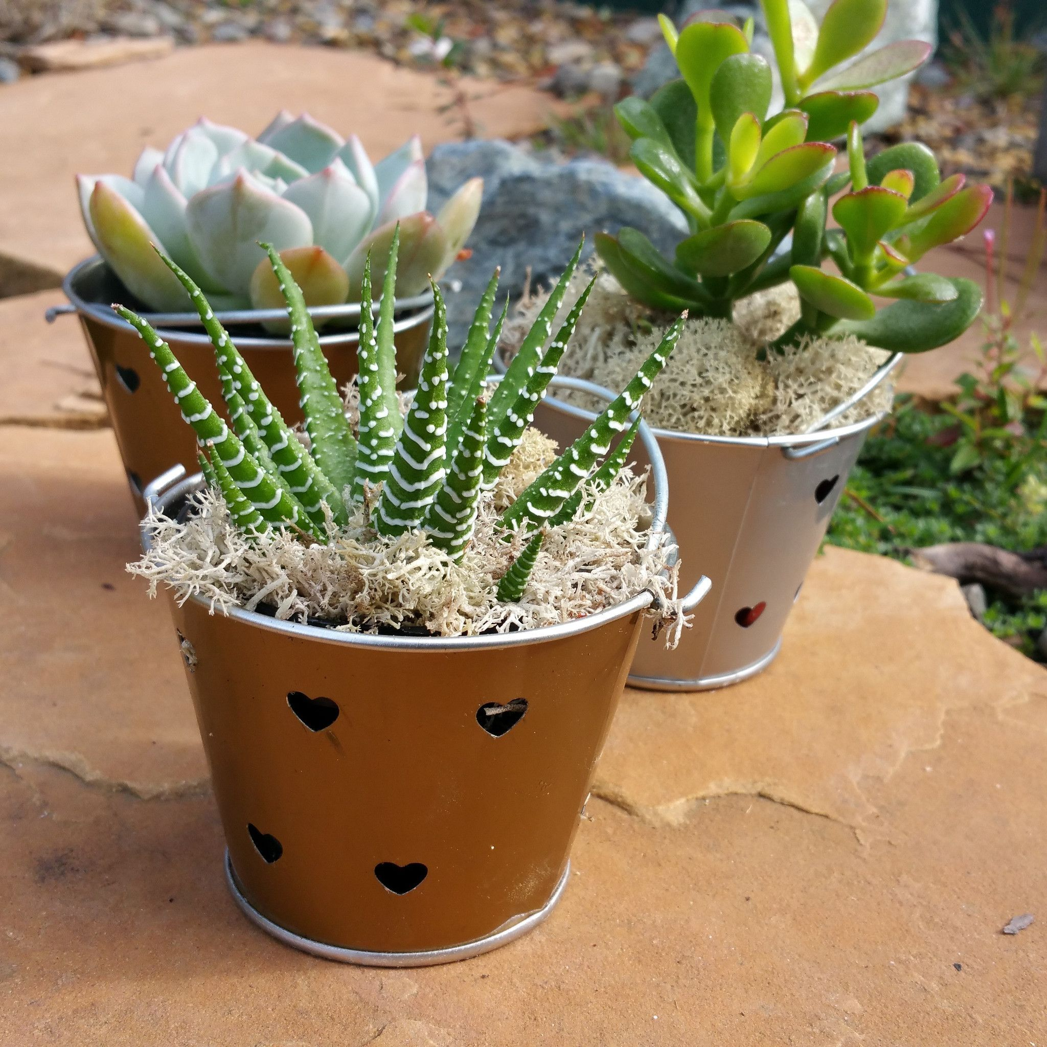 "24 x 3"" assorted succulents for party / wedding favors or"