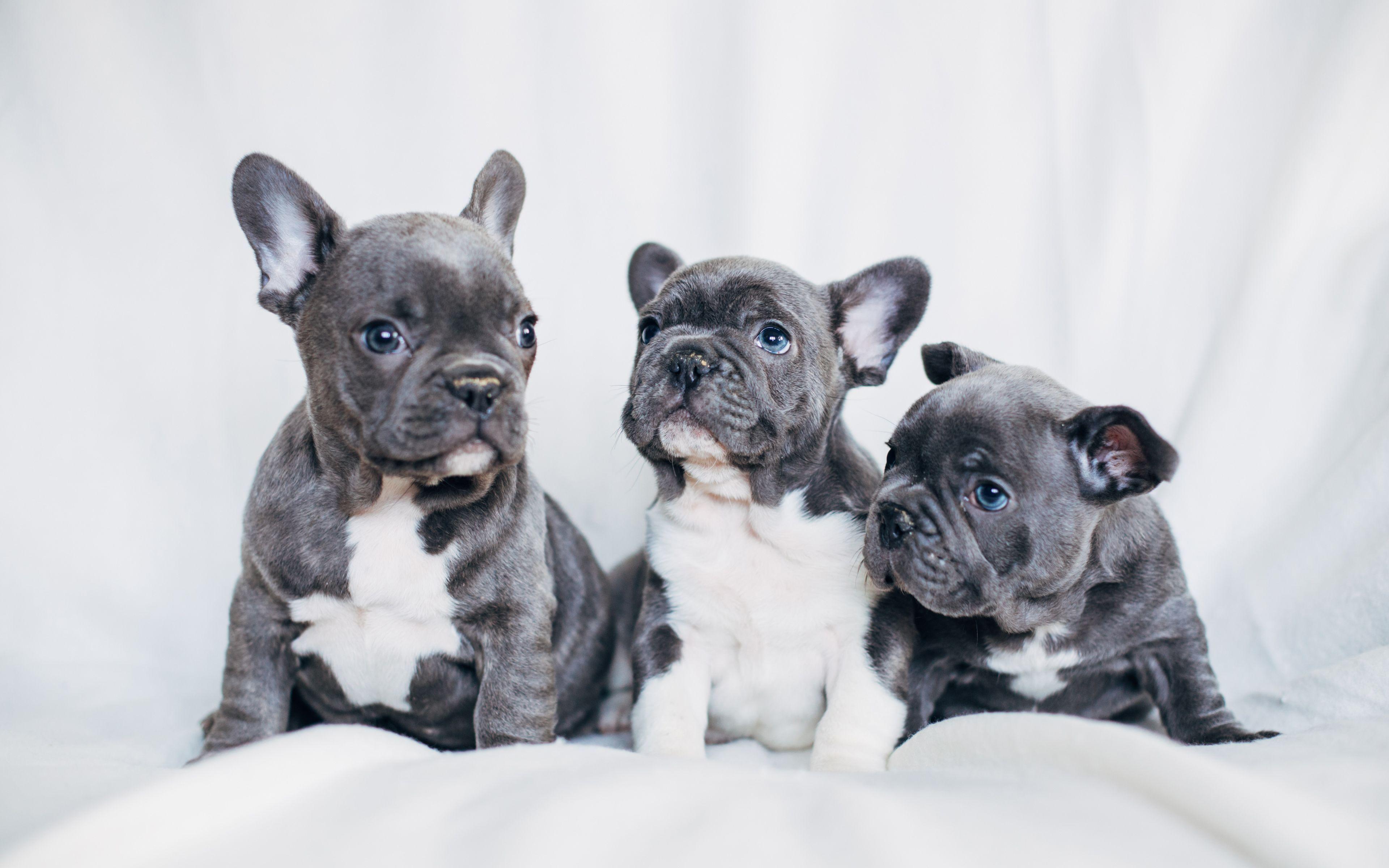 French Bulldog Puppies Desktop Wallpaper White French Bulldog