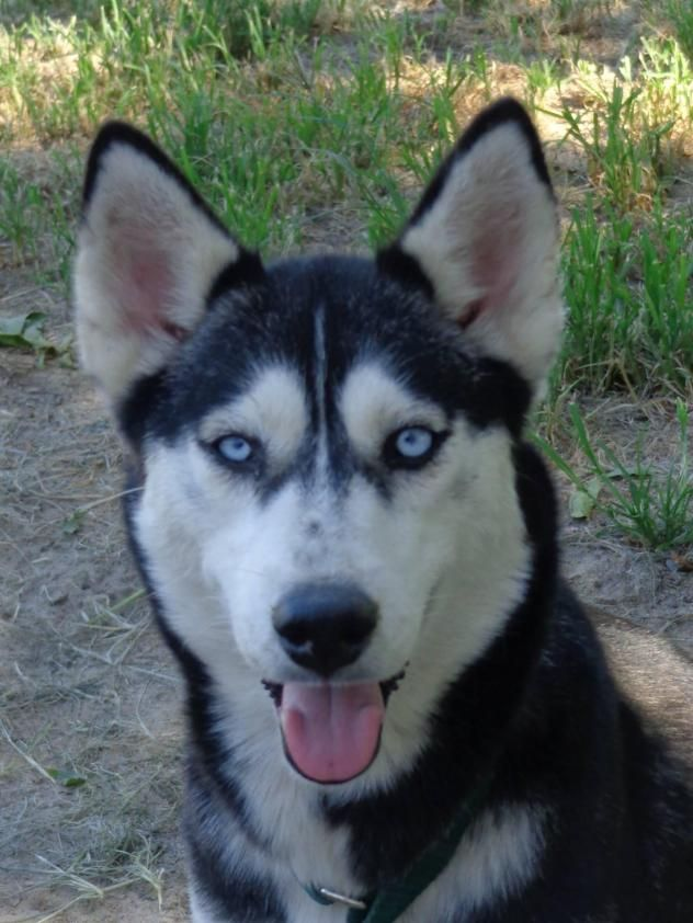 Siberian Husky Dog For Adoption In Raleigh Nc Adn 257841 On