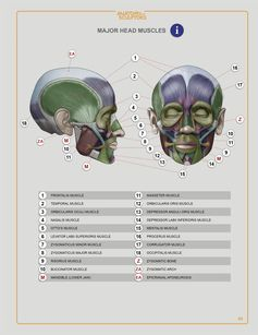 Anatomy For Sculptors e-book - HEAD & NECK chapter - anatomy reference book for all artists