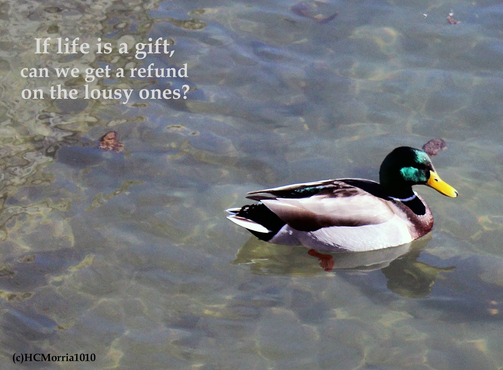 image of a male mallard duck with life refund quote