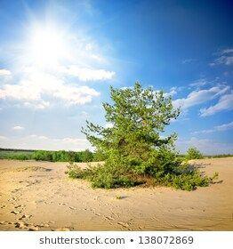 Green Pine Tree Desert Afternoon Stock Photo Edit Now 138072869 Green pine tree in the desert in the afternoon