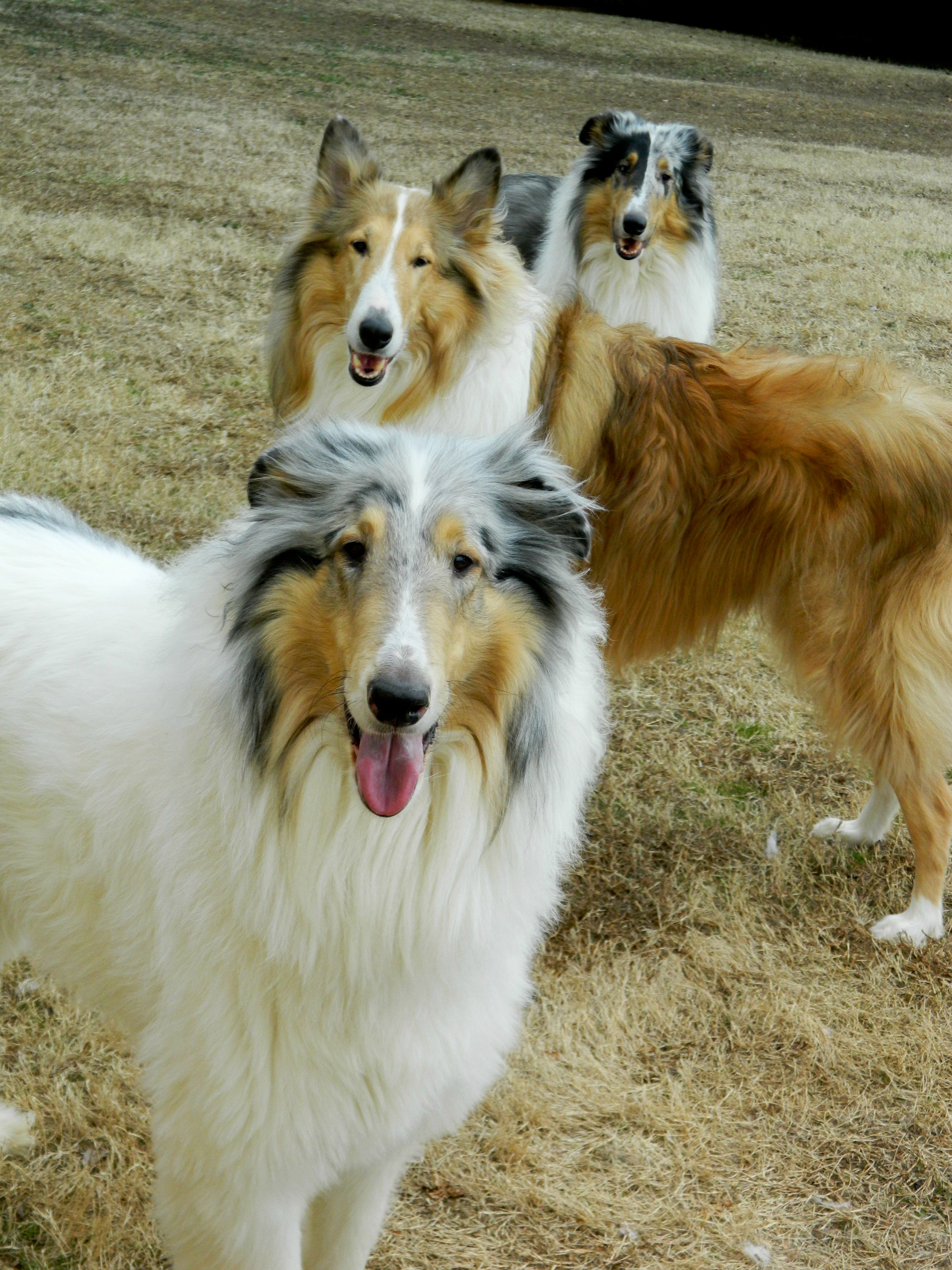 What Pretty Boys Rough Collie Dog Breeds Collie Dog