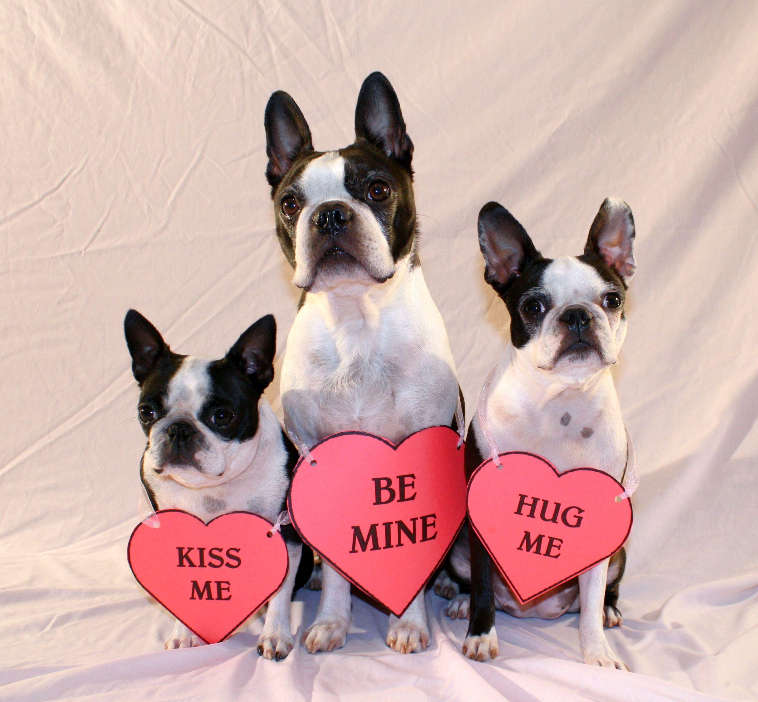 My Funny Valentines Pixie Halen Bubbles Boston Terrier Valentines Boston Terrier Lover Boston Terrier Boston Terrier Dog