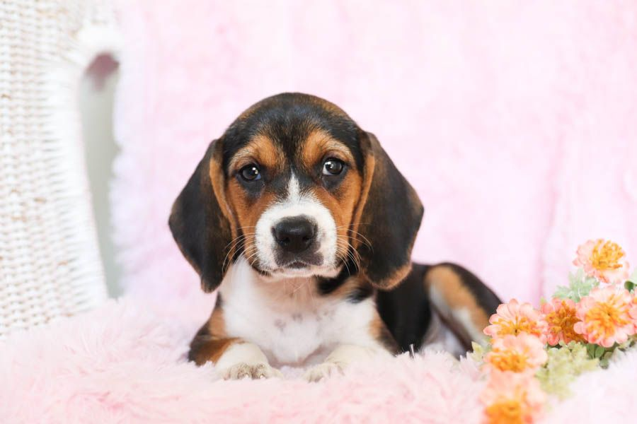 Happy Go Lucky Merry Dÿ µi A I Dÿ Friendly Beagle Puppies Are Cute Buddies That Are Excellent Family In 2020 Beagle Puppy Lancaster Puppies Beagle Dog