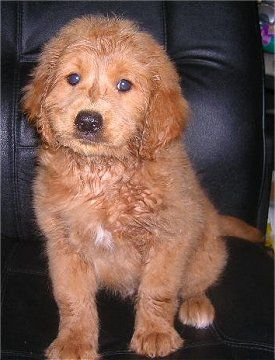 Golden Bernedoodle Puppy Goldendoodle Dog Breeds Goldendoodle