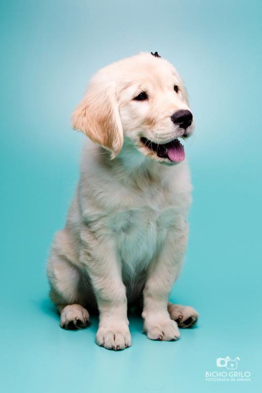 Our Baby Golden Retriever Luna Golden Retriever Baby Golden Retriever I Love Dogs