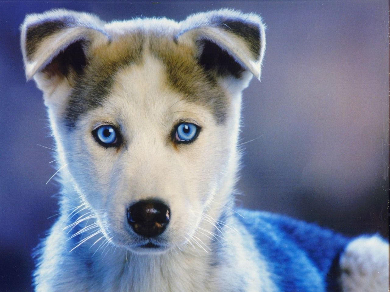 Beautiful Blue Eyes Cute Husky Puppies Puppies Blue Eyed Dog