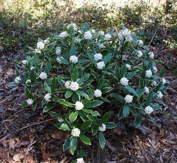 Daphne Odora Aureomarginata Alba Evergreen Shrub 5 X5 W Deep Green Leaves Edged In Creamy Yellow Small White Flowers Midwinter Into Spring