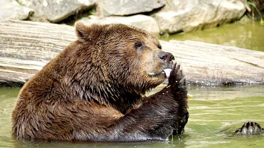 Why Do Bears Hibernate 9 Amazing Facts You Didn T Know Teddy Bear Images Animals Bear Species