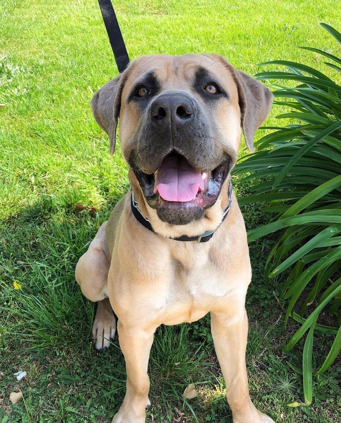 Adopt Max On Petfinder Help Homeless Pets Mastiff Mix Cane Corso