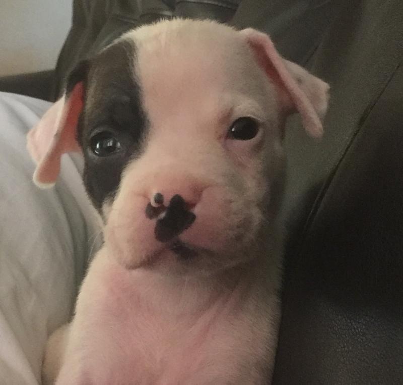 Meet Jasmine, a Petfinder adoptable Boxer Dog Saint