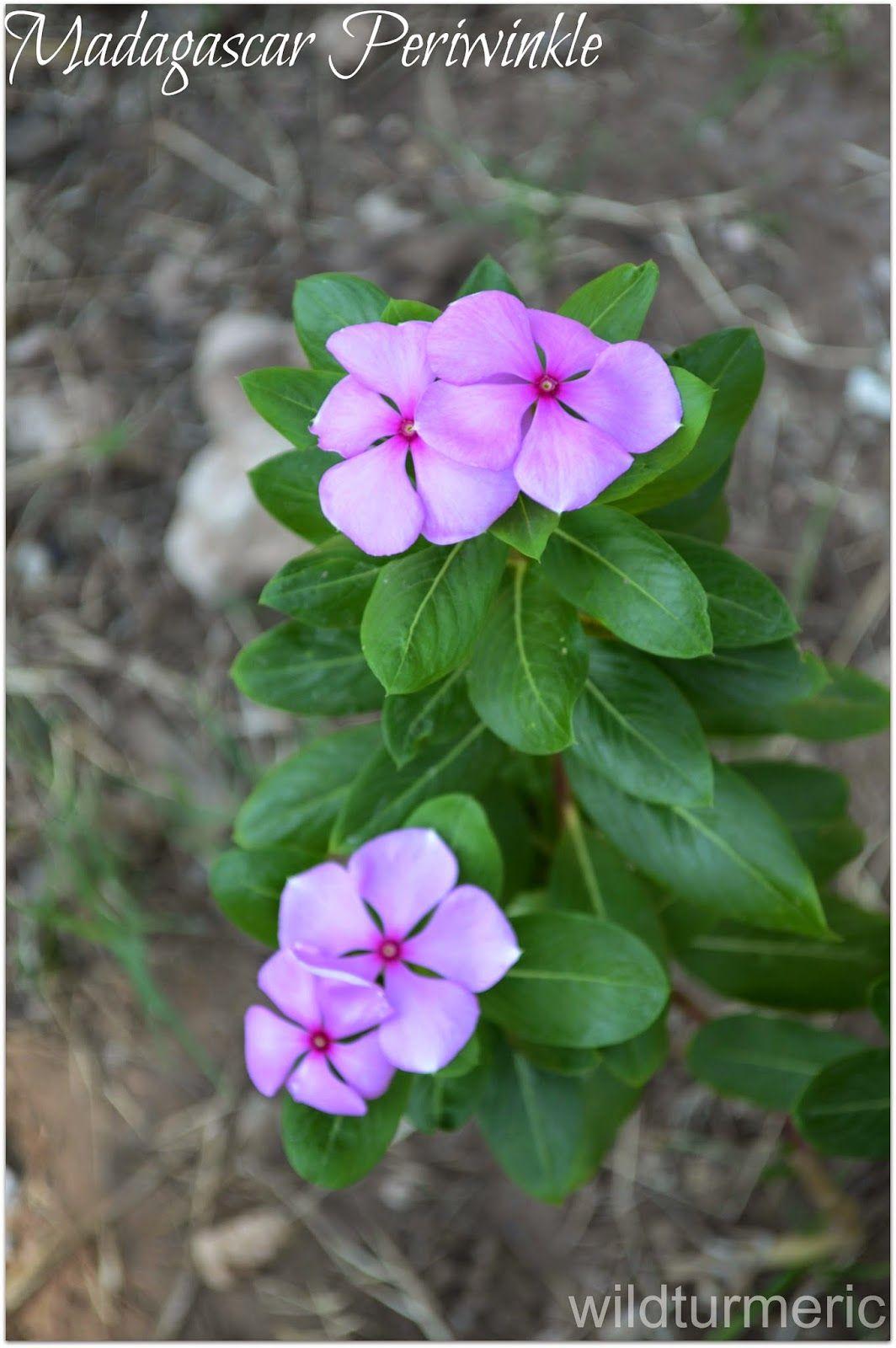 4 Top Health Benefits Of Nithyakalyani Sadabahar Flower Rosy Periwinkle Madagascar Periwinkle Plant Benefits Periwinkle Plant Herbal Plants