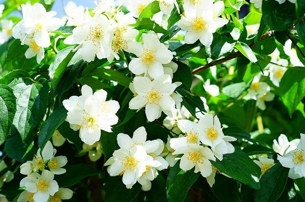Jasmine flower - description, blooming, habitat, uses, symbolism #jasmine #flower