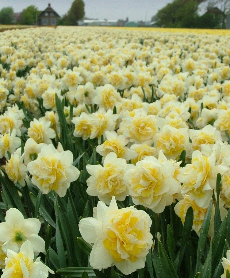 Narcissus Lingerie Double Narcissi Flower Bulbs