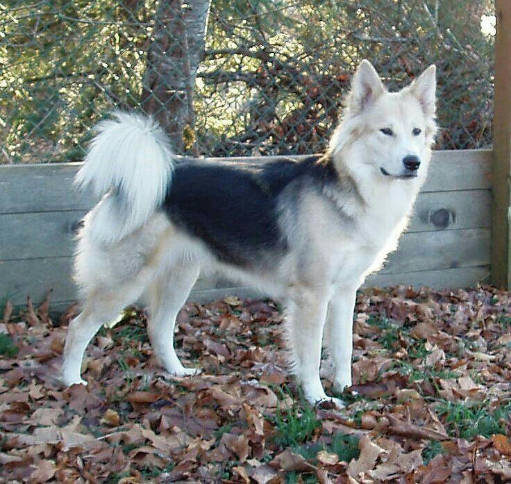 German Shepherd/Siberian Husky