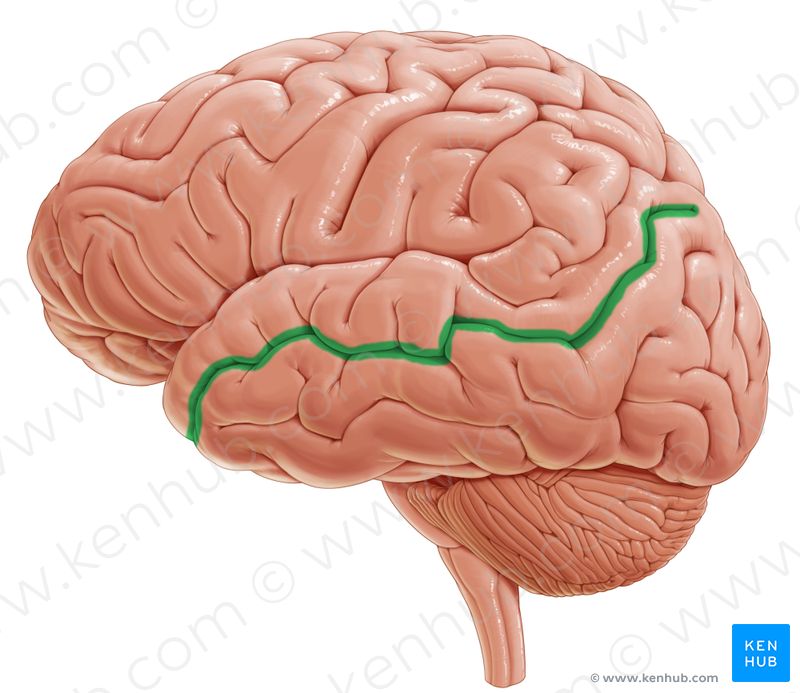 Superior temporal sulcus (верхняя височная борозда)   Brain.Lateral ...