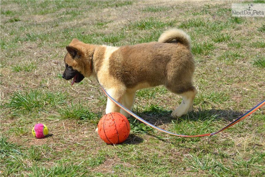 Akita Dogs For Sale In California 2021