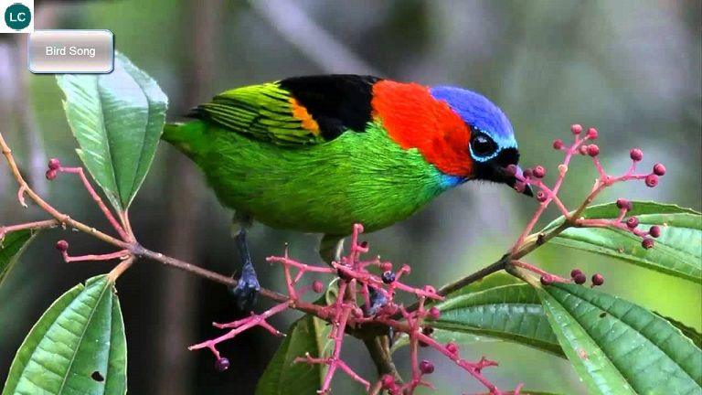 https://www.facebook.com/WonderBirdSpecies/ Red-necked tanager (Tangara cyanocephala); Argentina, Brazil, and Paraguay; IUCN Red List of Threatened Species 3.1 : Least Concern (LC)(Loài ít quan tâm) || Chim Tanager cổ đỏ; Argentina, Brazil và Paraguay; HỌ TANAGER - THRAUPIDAE (Tanagers).