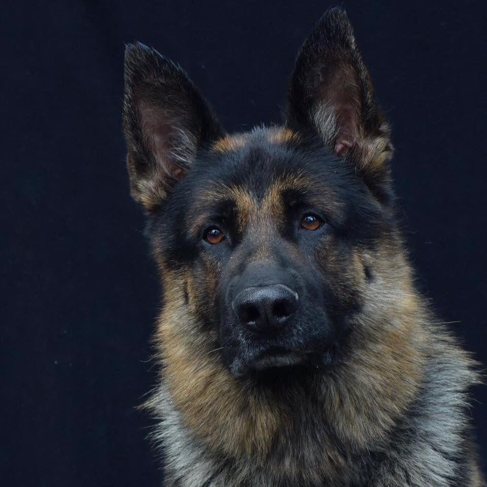 German Shepherds And The Common Law German Shepherd Dogs