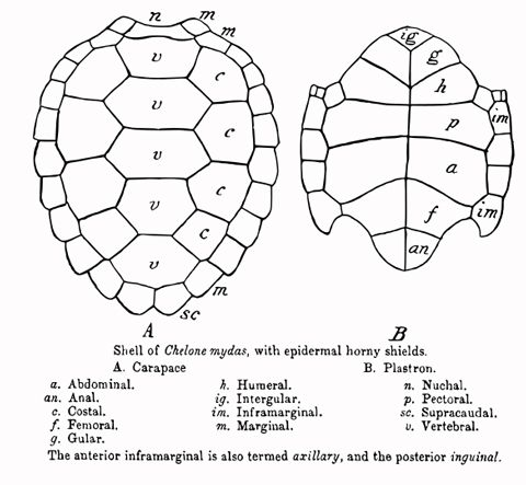 scientific diagrams of green sea turtle shells, dorsal and ventral ...