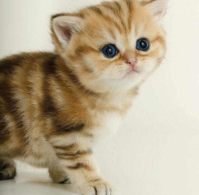 Cute Dark Blue Eyed British Shorthair Kitten Posted By Sweet Beast On Instagram Cute Animals British Shorthair Kittens Pretty Cats