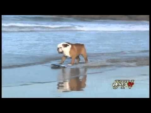 English Bulldog Skating And Surfing