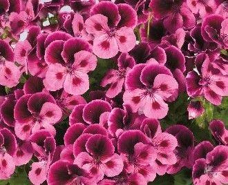 Pelargonium grandiflorum Candy Flowers® Pink with Eye - anglický ...