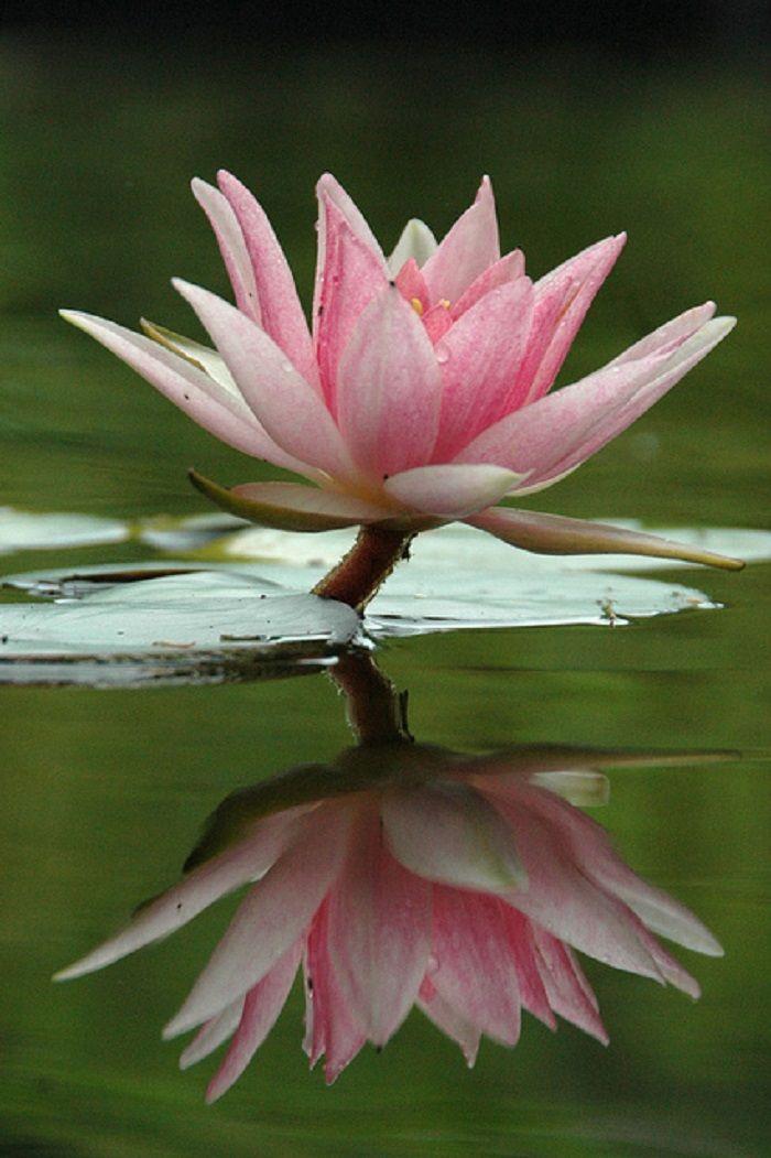 Pocas Flores Son Tan Místicas Como La Flor De Loto Beauty Of