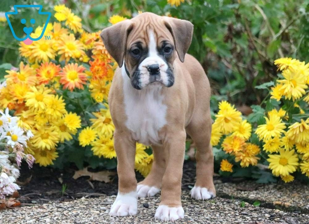 Boss Boxer puppies for sale, Boxer puppies, Puppies