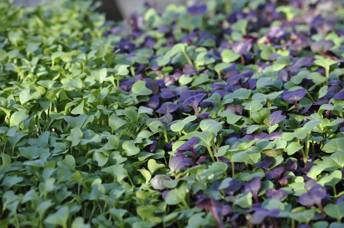 Growing Microgreens for Profit Growing microgreens