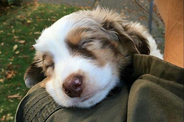 17 Beweise Dass Australische Schaferhunde Die Widerlichste Hunderasse Der Welt Sind Cuties Australische Schaferhunde Hunde Rassen Schaferhunde