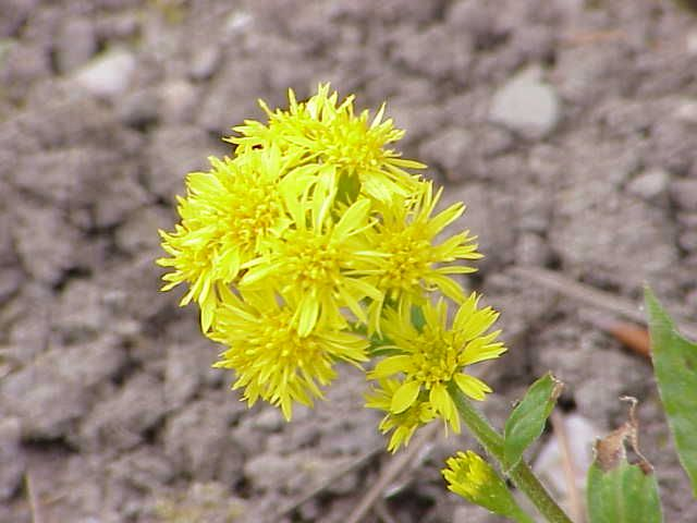 Official State Flower Goldenrod Is A Genus Of About 100 Species Of Flowering Plants In The Family Ast Kentucky State Flower Bee Friendly Garden Best Perennials