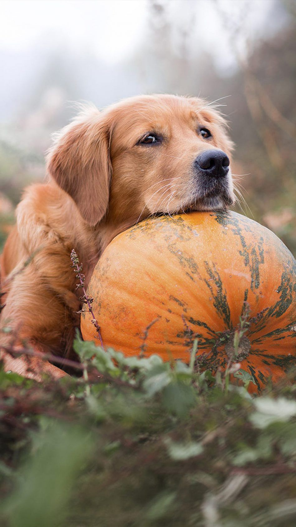 Golden Retriever Pet Dog Pumpkin Cute Dog Wallpaper Dogs Golden