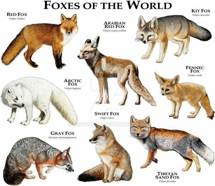 Difference Between Fox And Coyote: Pin By Barbara Lopez On Animals And Birds