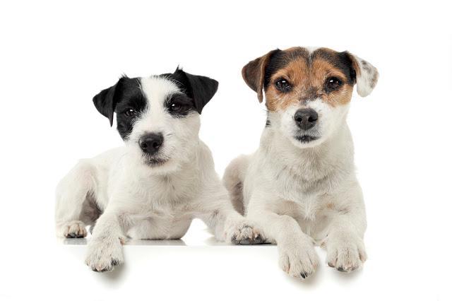 パーソン ラッセル テリアの性格 特徴 飼い方 ペットショップやブリーダーでの値段相場や里親募集も紹介 Mofmo ペットショップ テリア 狩猟犬
