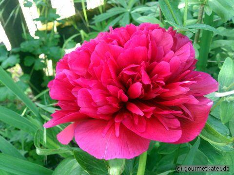 Pfingstrose #flower #garden #gardening