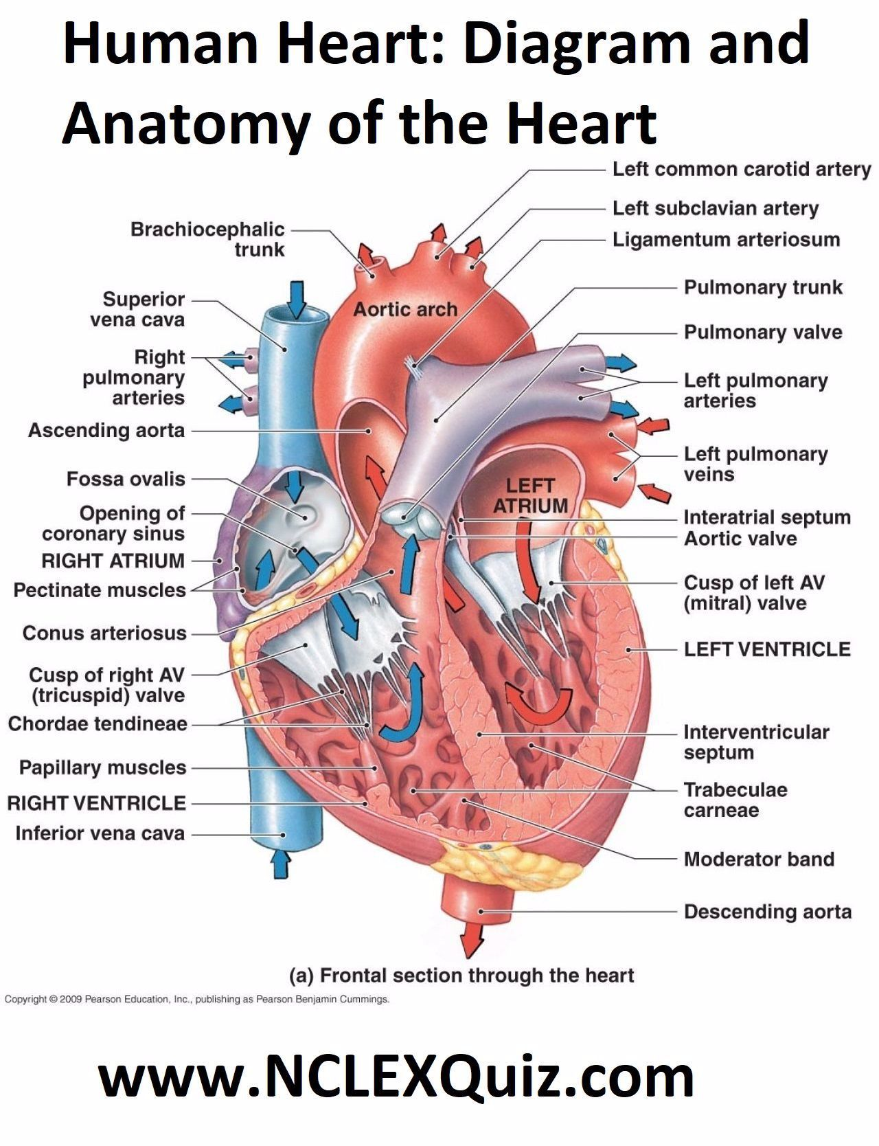 Human Heart Diagram And Anatomy Of The Heart Internal Anatomy Of The Heart Heart Diagram Right Left Atria Rig In 2020 Heart Diagram Human Heart Human Heart Diagram