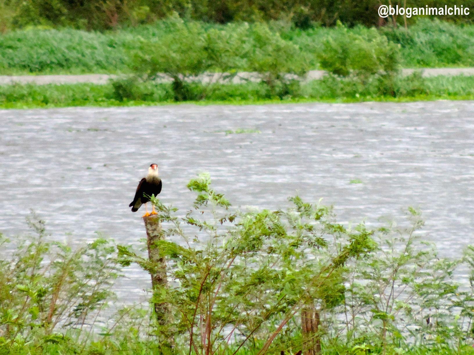 Caracará (Caracara plancus) fotografado no Tanquã, o mini-pantanal de Piracicaba/SP, em Março/14.