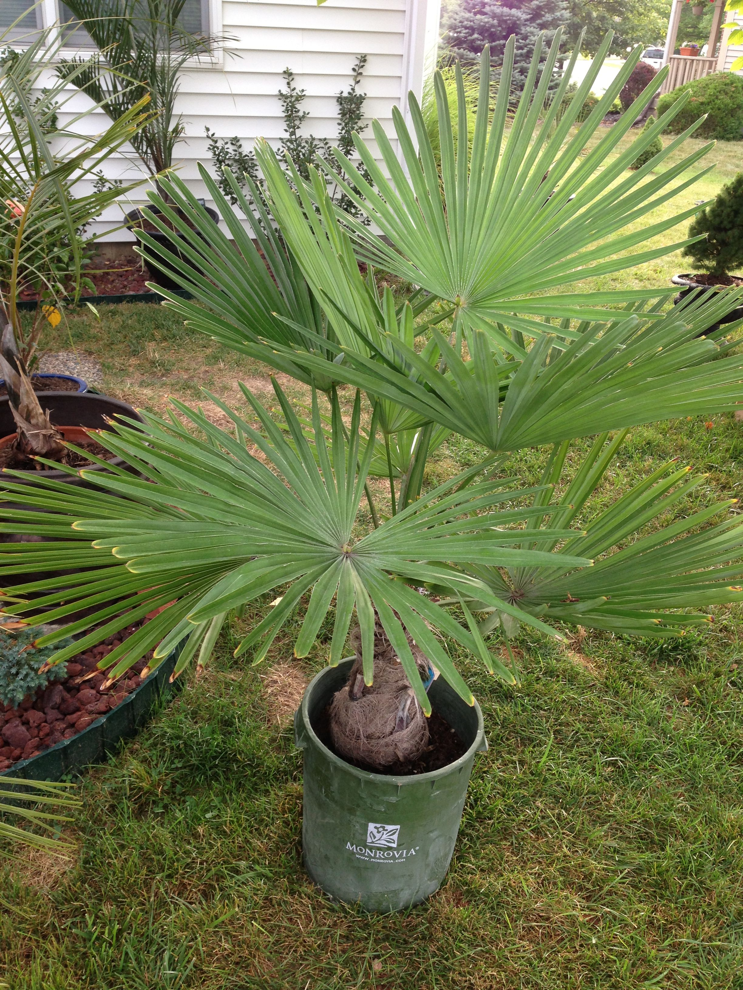 Another windmill palm I couldn\'t resist. It was 40% off on sale at ...