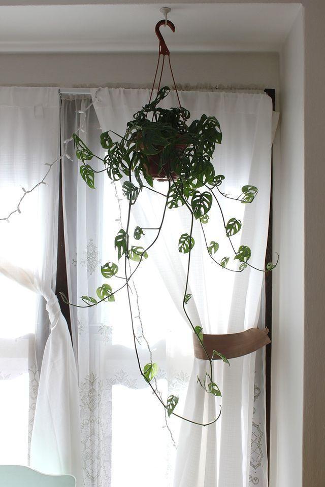 monstera obliqua Home Garden Pinterest Plants, Hanging - ideen für küchenwände