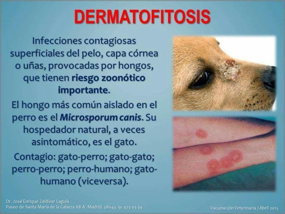 Imagenes dermatofitos en perros