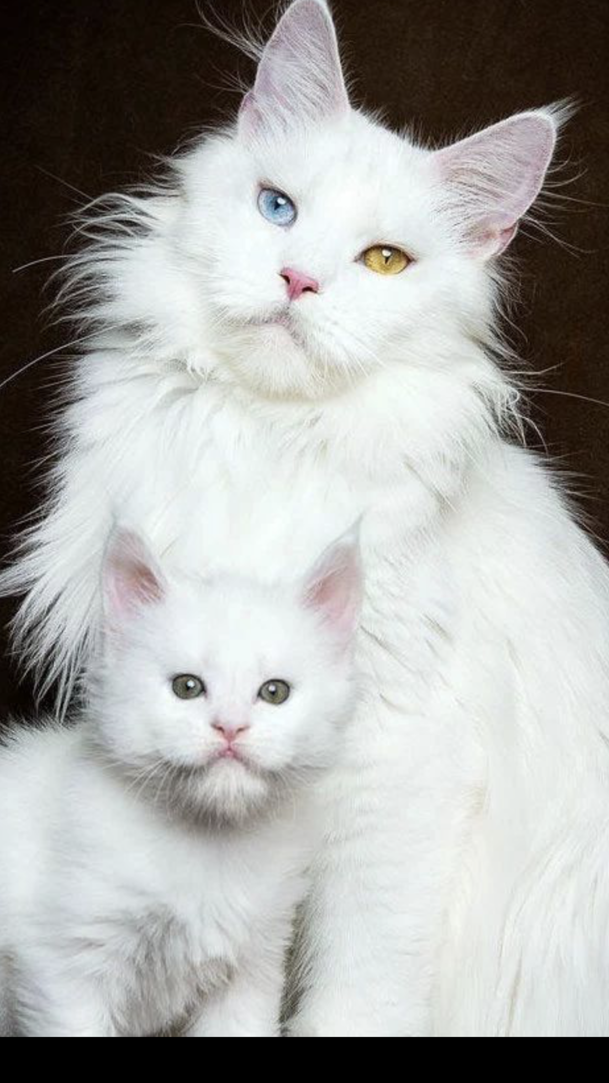 Gorgeous Odd Eyed White Cat With A Cute White Kitten Albino Cat Cats Cute Cats