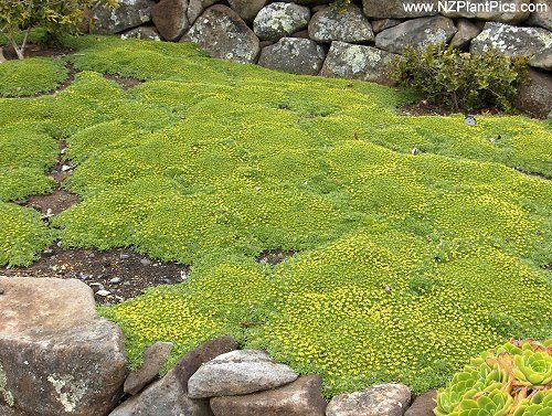 Succulent Ground Cover Yellow Flowers Very Low Ground Cover Mat